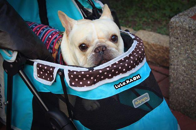 《人氣寵物》法國鬥牛犬~@乳酪@~FS1101S新波點寵物三輪車